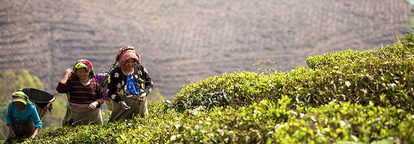 Avongrove tea estate Darjeeling