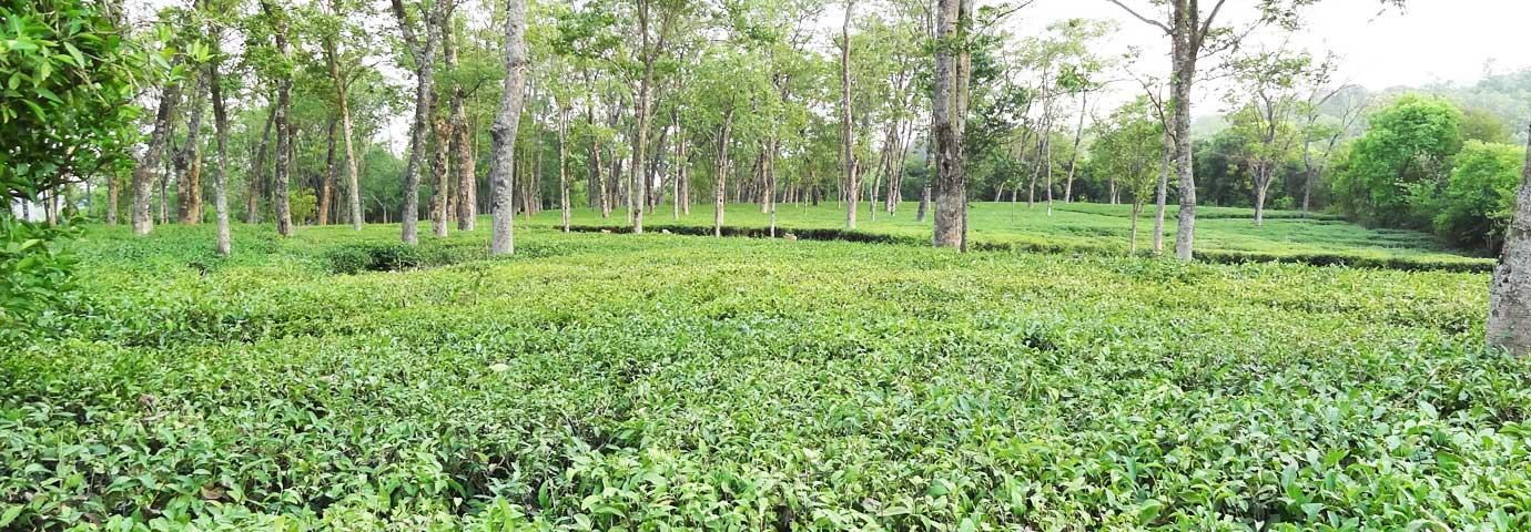 Darang Tea Estate