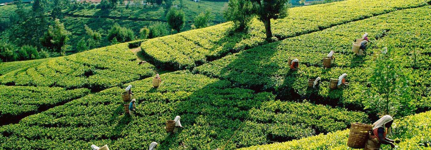 Kolukkumalai  Tea Estate, Munnar