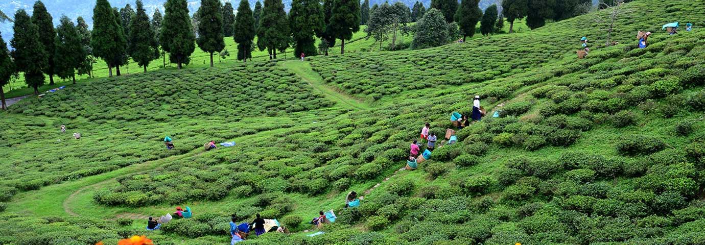 Temi tea garden Sikkim